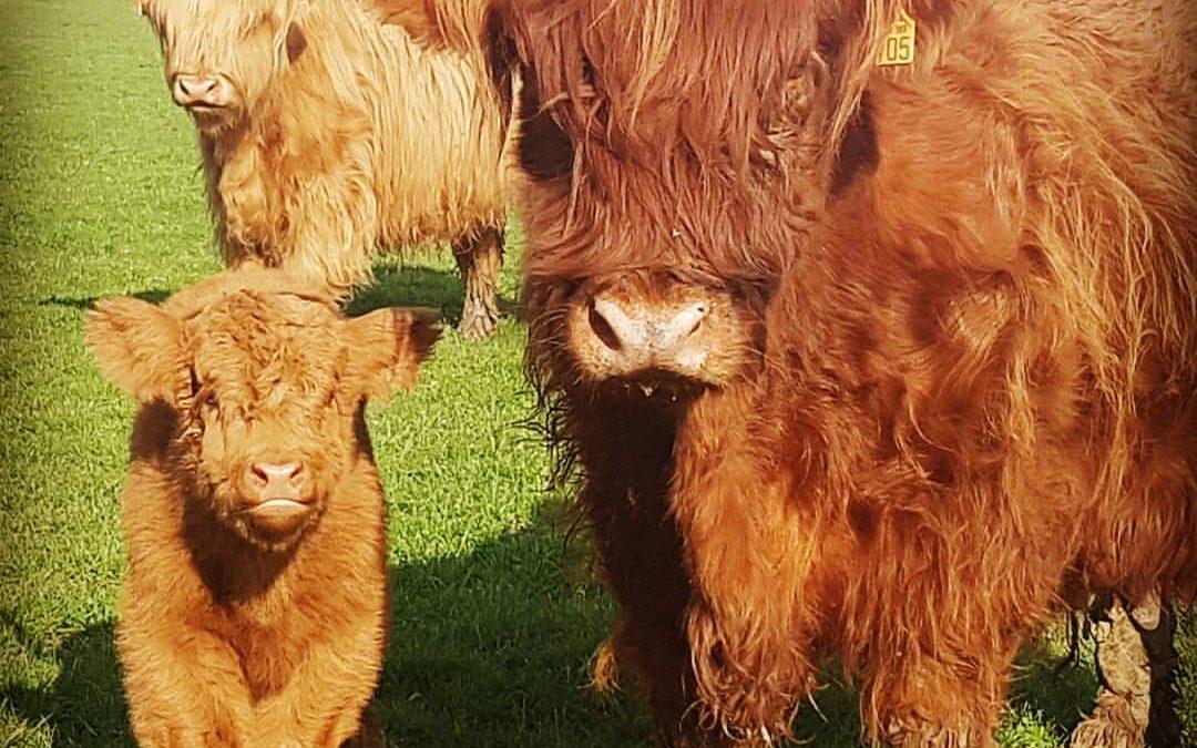 Les Vaches Highlands et les Longhorns