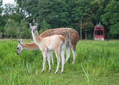 Les Lamas et les Alpagas