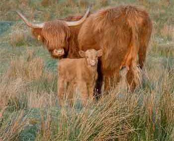 Les Vaches et les Longhorns