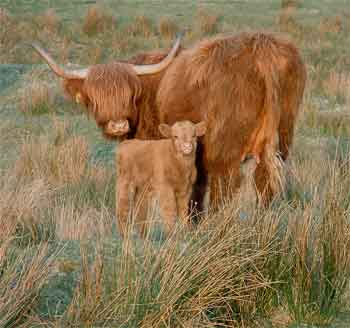 gold-highlands-cattles