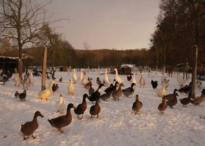 canards-hiver-ferme-pédagogique-canon