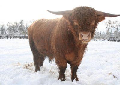 neige-longhorn-ferme-pedagogique-canon