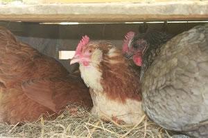 poule4-ferme-pedagogique-canon
