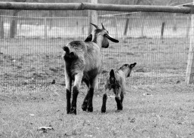chèvres - Sandra Bricet Boliade Mulan