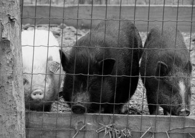 cochon noir 3 - Sandra Bricet Boliade Mulan