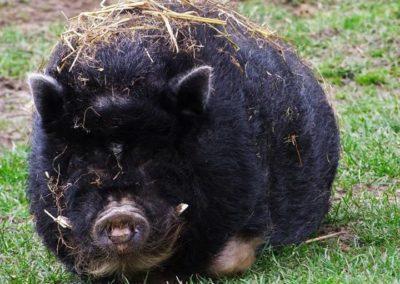 cochon noir - Sandra Bricet Boliade Mulan