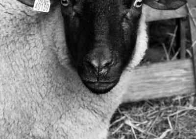 mouton - Sandra Bricet Boliade Mulan