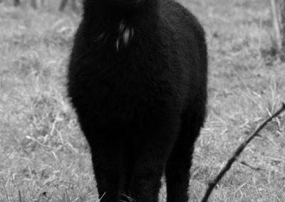 mouton noir 3 - Sandra Bricet Boliade Mulan