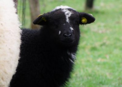 mouton noir - Sandra Bricet Boliade Mulan