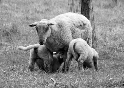 moutons - Sandra Bricet Boliade Mulan
