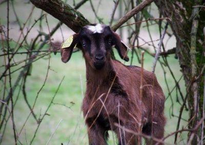 petite chèvre - Sandra Bricet Boliade Mulan