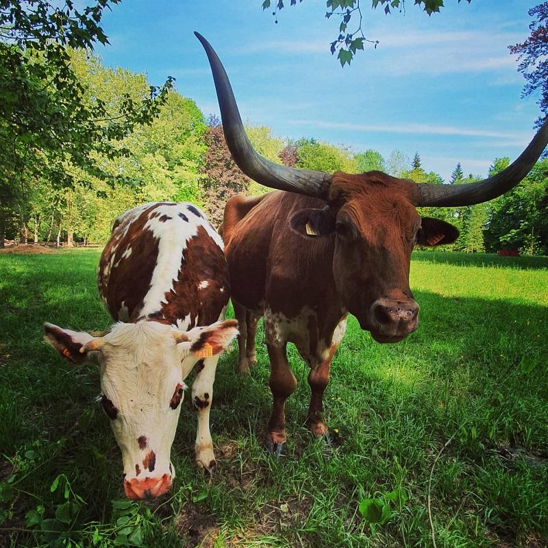 vache-ferme-pedagogique